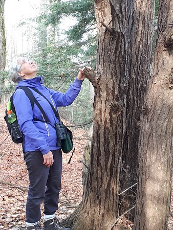 Large old tree, in Area 5 (Photo by Jennifer Jackman)
