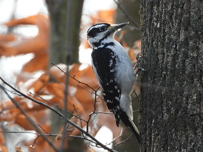Hairy Woodpecker - female , in Area 4 (Photo by Don McLeod)