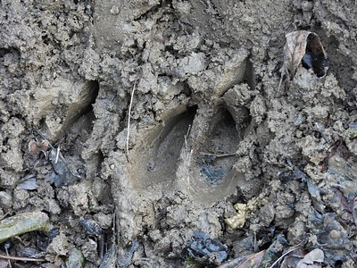 White-tailed Deer - tracks , in Area 4 (Photo by Don McLeod)