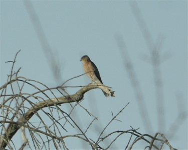 Cooper's Hawk, in Area 3 (Photo by Thomas Jackman)