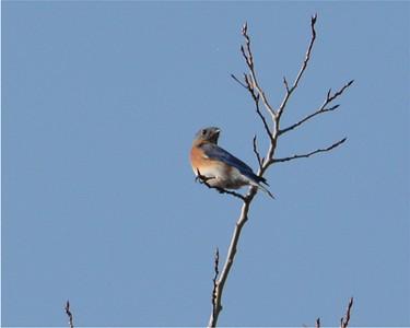 Eastern Bluebird, in Area 3 (Photo by Thomas Jackman)