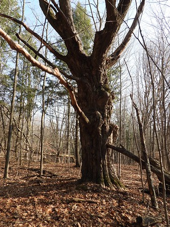 Sugar Maple , in Area 4 (Photo by Don McLeod)