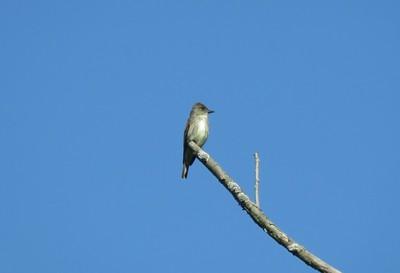 Olive-sided Flycatcher in Area 3 - Photo by Katsu Sakuma