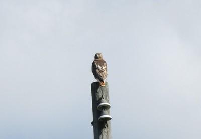 Red-tailed Hawk in Area 3 - Photo by Katsu Sakuma