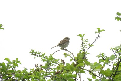 Song Sparrow in Area 3 - Photo by Katsu Sakuma