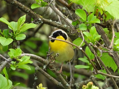 Common Yellowthroat in Area 3 - Photo by Don McLeod