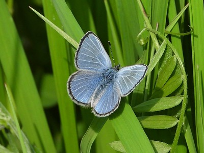 Silvery Blue (Glaucopsyche lygdamus) in Area 3 - Photo by Don McLeod