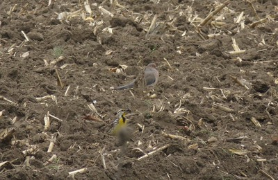Eastern Meadowlark & Mourning Dove in Area 3 - Photo by Katsu Sakuma