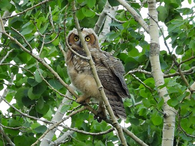 Great Horned Owl - juvenile, in Area 3 - Photo by Don McLeod