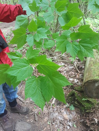 Mountain Maple (Acer spicatum) in Area 5 - Photo by Jenny Jackman