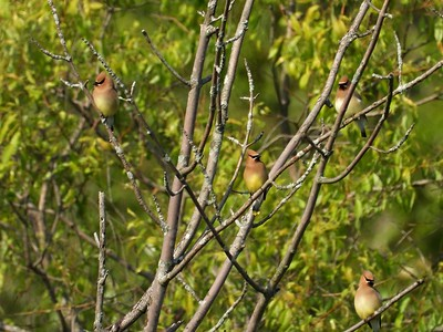 Cedar Waxwing in Area 3 - Photo by Don McLeod