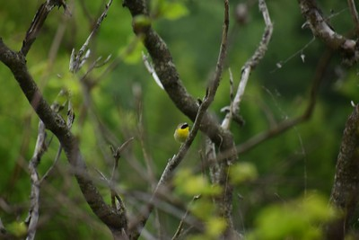 Common Yellowthroat in Area 4 - Photo by Gerry McKenna