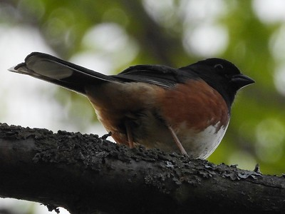 Eastern Towhee in Area 3 - Photo by Don McLeod