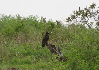 Turkey Vulture in Area 3 - Photo by Katsu Sakuma