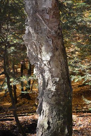 2 old birch shedding