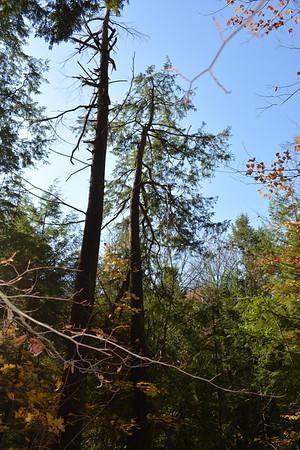 4 first E Hemlock tree sampled