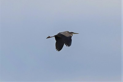 Great Blue Heron, in Area 1 (Photo by Gerry McKenna)