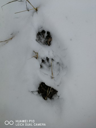 Northern River Otter tracks, in Area 6 (Photo by Simone Merey)