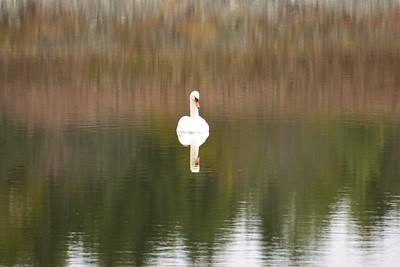 Mute Swan, in Area 1 (Photo by Gerry McKenna)