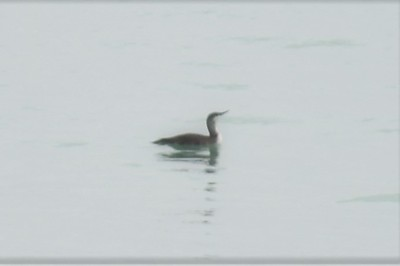 Red-throated Loon , in Area 1 (Photo by Gerry McKenna)