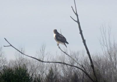 Red-tailed Hawk , in Area 3 (Photo by Katsu Sakuma)