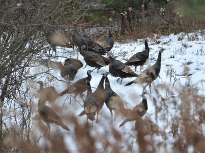 Wild Turkey, in Area 4 (Photo by Jennifer Jackman)