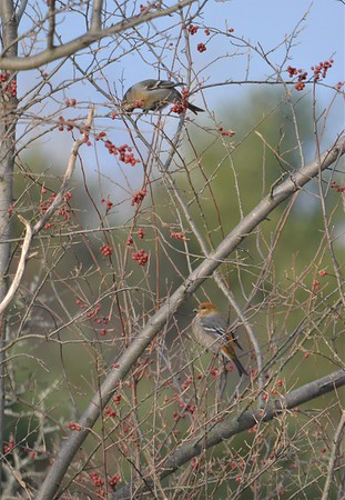 Pine Grosbeak, in Area 4 (Photo by Jennifer Jackman)