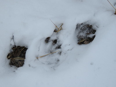 Northern River Otter tracks, in Area 6 (Photo by Anne Tesluk)