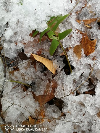 Leaves, plant & snow, in Area 6 (Photo by Simone Merey)