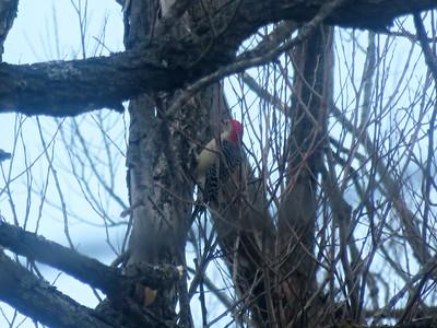Red-bellied Woodpecker , in Area 3 (Photo by Katsu Sakuma)