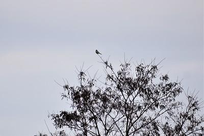 Northern Shrike, in Area 1 (Photo by Gerry McKenna)