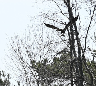 Bald Eagle (imm) with fish - Wesleyville East Marsh/Shoreline , in Area 1 (Photo by Gerry McKenna)