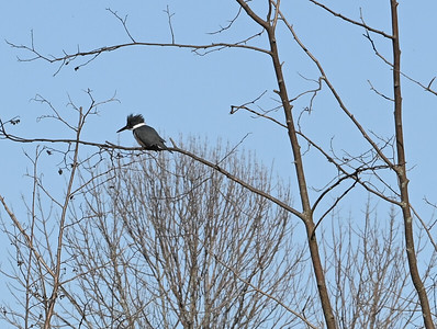 Belted Kingfisher in East Marsh , in Area 1 (Photo by Gerry McKenna)