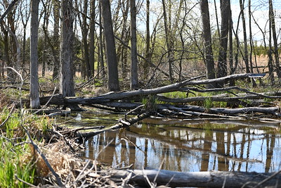 Wesleyville East Marsh - woodland swamp in north portion , in Area 1 (Photo by Gerry McKenna)
