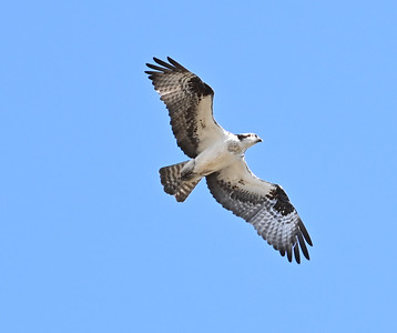 Osprey north of Wesleyville East Marsh , in Area 1 (Photo by Gerry McKenna)