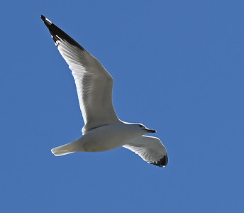 Ring-billed Gull along Wesleyville shoreline at Crysler Point. , in Area 2 (Photo by Gerry McKenna)