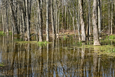 Wooded swamp in west OPG property , in Area 2 (Photo by Gerry McKenna)
