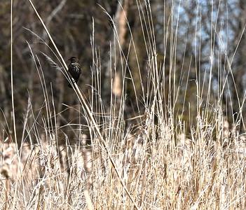 Red-winged Blackbird (fem) in Wesleyville East Marsh , in Area 1 (Photo by Gerry McKenna)