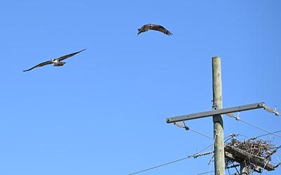 Osprey pair near nest - Wesleyville near building 6 , in Area 1 (Photo by Gerry McKenna)