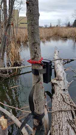 Trail camera monitoring activity in East Marsh , in Area 1 (Photo by Gerry McKenna)