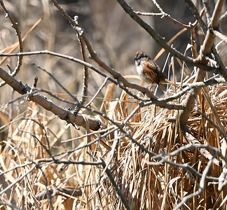 Chipping Sparrow in Wesleyville East Marsh , in Area 1 (Photo by Gerry McKenna)