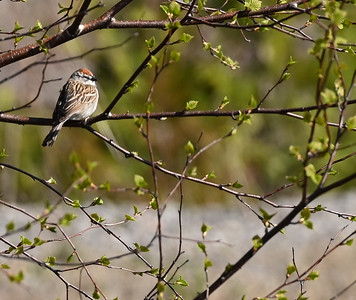 Chipping Sparrow - Wesleyville site east of powerhouse , in Area 1 (Photo by Gerry McKenna)