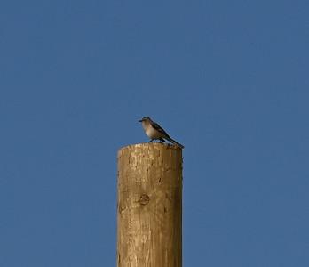 Northern Mockingbird on post near powerhouse. , in Area 1 (Photo by Gerry McKenna)