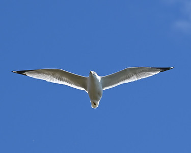 Herring or Ring-billed Gull - Crysler Point, Wesleyville , in Area 2 (Photo by Gerry McKenna)