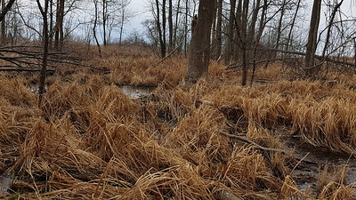 Wooded swamp in East Marsh showing overflow bypass of beaver dam , in Area 1 (Photo by Gerry McKenna)