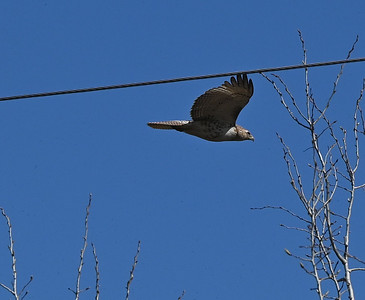 Red-tailed Hawk - Wesleyville site east of powerhouse , in Area 1 (Photo by Gerry McKenna)