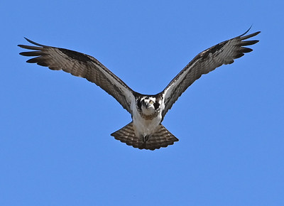 Osprey - Wesleyville nest near building 6 , in Area 1 (Photo by Gerry McKenna)