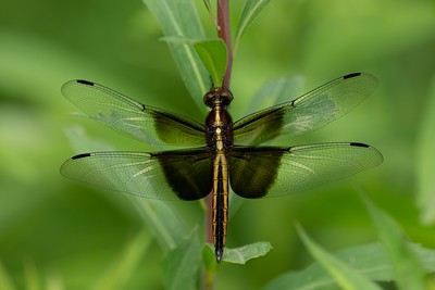 Widow Skimmer dragonfly, in Area 5 (Photo by Chelsea Marcantonio)