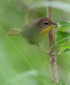 Common Yellowthroat (Geothlypis trichas) femaile observed with food in Wesleyville East Marsh, deciduous swamp area. , in Area 1 (Photo by Gerry McKenna)