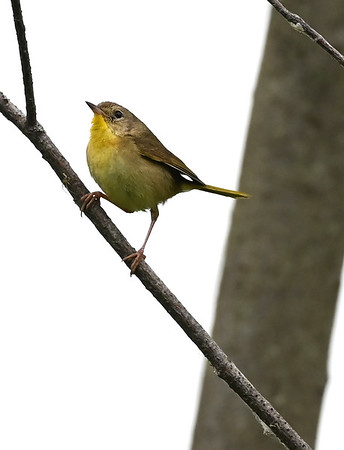 Common Yellowthroat (f) in East Wesleyville Marsh.  Pair observed with food with high probability of nest nearby. , in Area 1 (Photo by Gerry McKenna)